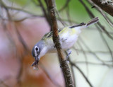 Blue-headed Vireo - Vireo solitarius (eating a stink bug)