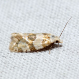 3780 - Rings' Cochylid - Cochylis ringsi