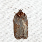 3533 - Acleris celiana