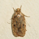 0882 - Four-dotted Agonopterix - Agonopterix robiniella