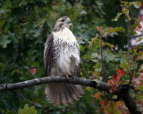 Red-tailed Hawk - Buteo jamaicensis (immature)