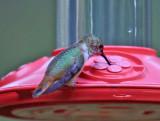 Rufos Hummingbird - Selasphorus rufus