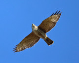 Red-shouldered Hawk - Buteo lineatus (immature)