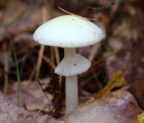 Amanita cf. bisporigera (Destroying Angel)