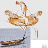 1387 - Metallic Coleophora - Coleophora mayrella IMG_3270.jpg