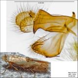 0549 - Bucculatrix packardella IMG_3302.jpg