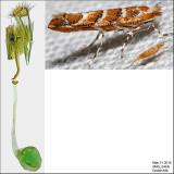 0815 - Gregarious Oak Leafminer - Cameraria cincinnatiella IMG_3424.jpg