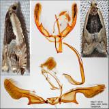 3365 - Ancylis spiraeifoliana complex