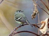 Hammond's Flycatcher - Empidonax hammondii
