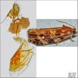 2771 - Macramé Moth - Phaecasiophora confixana