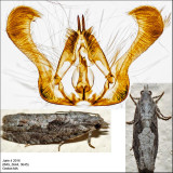 3333 - Oak Trumpet Skeletonizer Moth - Catastega timidella