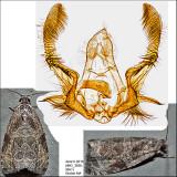2776 - Woolly-backed Moth - Olethreutes furfuranum