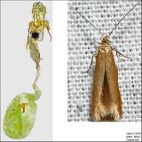 1287 - Coleophora persimplexella IMG_3681.jpg