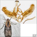 5608 - Double-humped Pococera - Pococera expandens