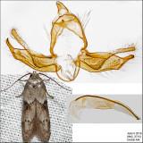 1162 - Acorn Moth - Blastobasis glandulella IMG_3715.jpg
