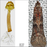 6001 - Ephestiodes infimella