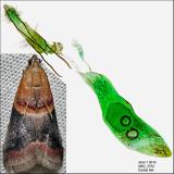 5674 - Walnut Shoot Moth - Acrobasis demotella