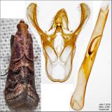 5999 - Broad-banded Eulogia - Eulogia ochrifrontella