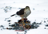 Sharp-shinned Hawk - Accipiter striatus