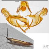 1398.2 - Coleophora deauratella IMG_3783.jpg