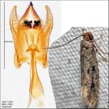 0412 - Niditinea orleansella? IMG_3788.jpg