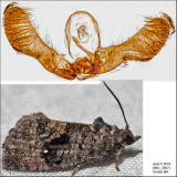 3495 - Dotted Gymnandrosoma - Gymnandrosoma punctidiscanum