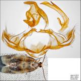 3686 - Black-patched Clepsis - Clepsis melaleucana