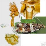 2770 - Dusky Leafroller - Orthotaenia undulana