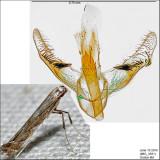 Acrocercops sp. IMG_3931.jpg