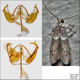 Pigritia sp. IMG_3997.jpg