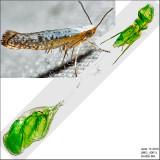 2479 – Speckled Argyresthia Moth – Argyresthia subreticulata