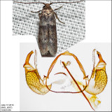 Pigritia sp. IMG_4067.jpg