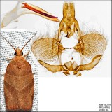 3594 – Three-lined Leafroller Moth – Pandemis limitata