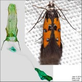 1463 – Linden Bark-borer Moth – Chrysoclista linneella