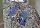 Eastern Bluebird - Sialia sialis