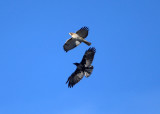 Red-tailed Hawk chased by a crow