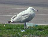 Nelson's Gull Glaucous/Herring hybrid