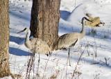 Sandhill Cranes - Grus canadensis