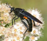 Mydas Flies - Mydidae