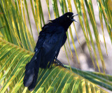 Great-tailed Grackle - Quiscalus mexicanus