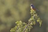 Tristram's Warbler
