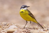 Iberian Yellow Wagtail