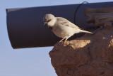 Desert Sparrow