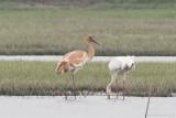 Siberian Crane - Grus leucogeranus