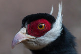 Brown Eared Pheasant - Crossoptilon mantchuricum