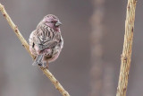 Chinese Beautiful Rosefinch - Carpodacus davidianus