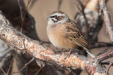Meadow Bunting - Emberiza cioides