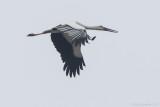 Oriental Stork Ciconia boyciana