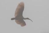 Crested Ibis - Nipponia nippon
