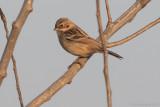 Pallas's Reed Bunting - Emberiza pallasi